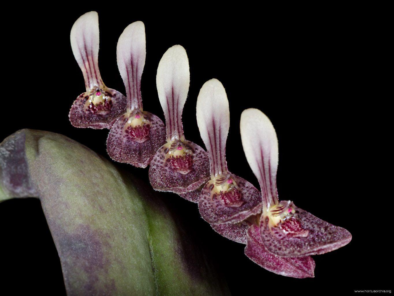 Pleurothallis strupifolia