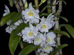 Read more: Dendrobium Sailor Boy Elise