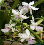 Read more: Holcoglossum amesianum